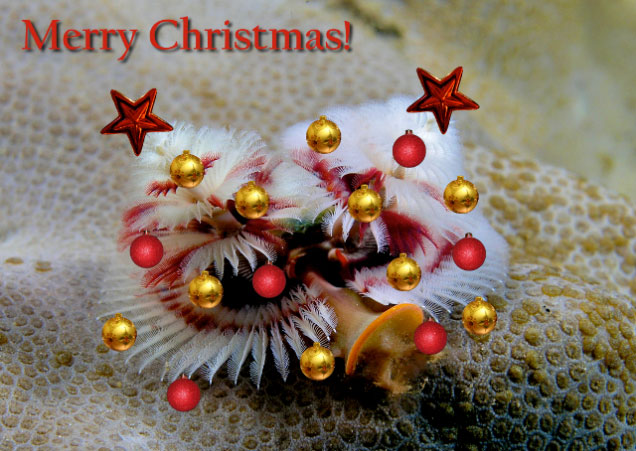 Christmas Tree Worm.A Polychaete Is Not Just For Christmas