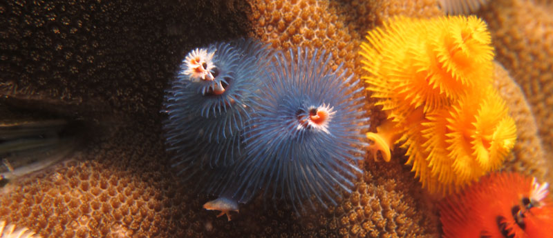 Christmas Tree Worm.Are Christmas Tree Worms Bad For Corals